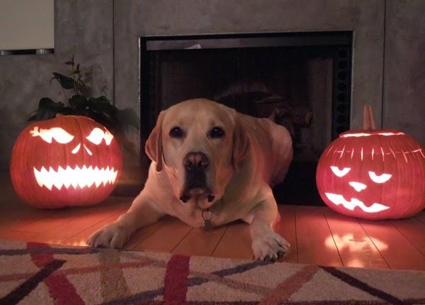 Labrador Cooper Halloween pumpkins