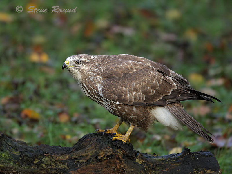 common buzzard, buzzard, raptor, bird, bird of prey