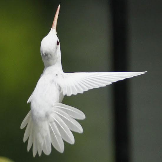 Capturan imágenes de raro colibrí albino