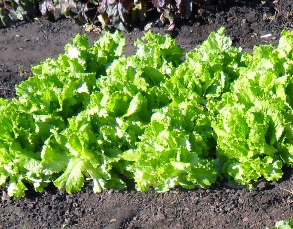 Поздний салат