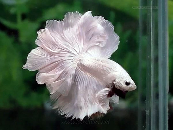 albino betta fighter fishes