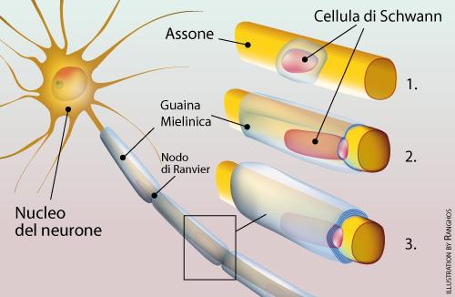 Neurologia - cellula di schwann