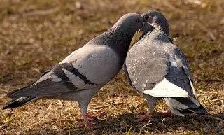 Fakta tentang burung Merpati