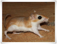 Gerbil Animal Pictures