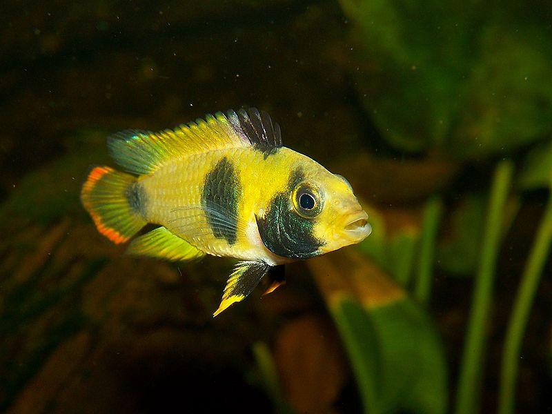 Dwarf Cichlids : Fish Pictures: Panda dwarf cichlid - Apistogramma nijsseni