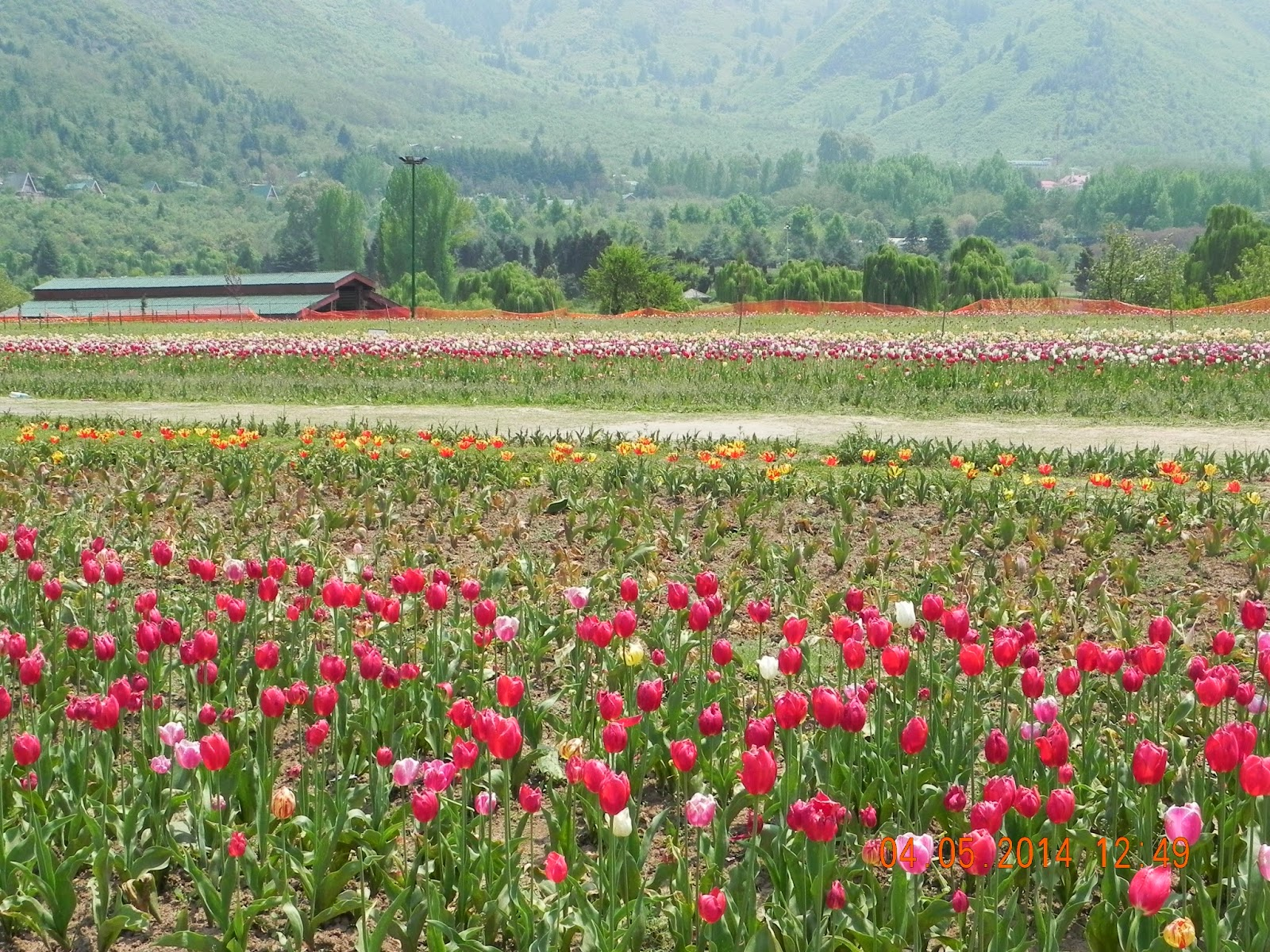 Live local kashmir land of beauty and the beasts the infamous tulip garden izmirmasajfo