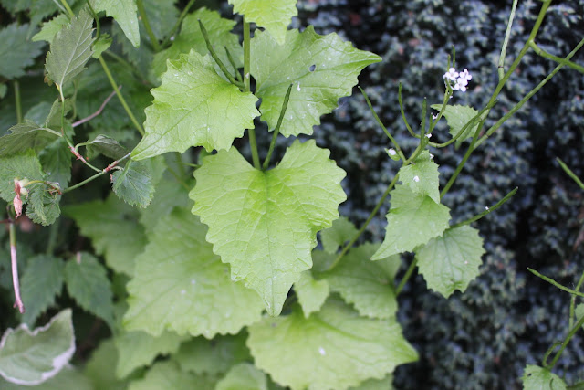 Garlic mustard growing in my front side garden.
