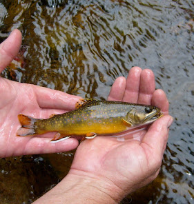 Vermont Wild Brook Trout