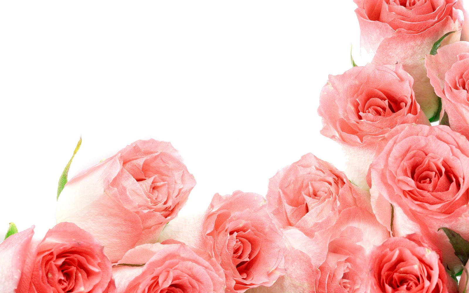 White Rose Desktop Backgrounds