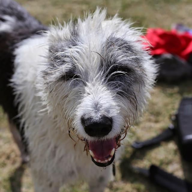 Irish wolfhound cross