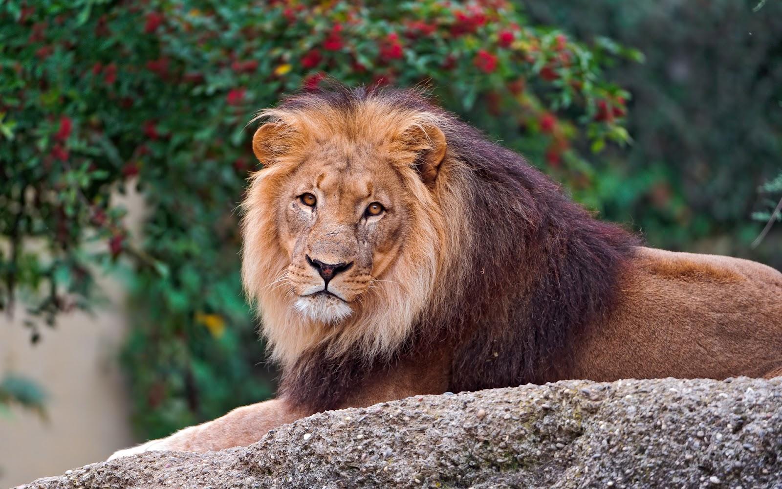 http://1.bp.blogspot.com/-oiVGF-gdhvQ/T8ZiQ-KTZ7I/AAAAAAAAeW4/oATV1UnbTcc/s1600/Leon_Imagenes-de-Animales-en-HD.jpg