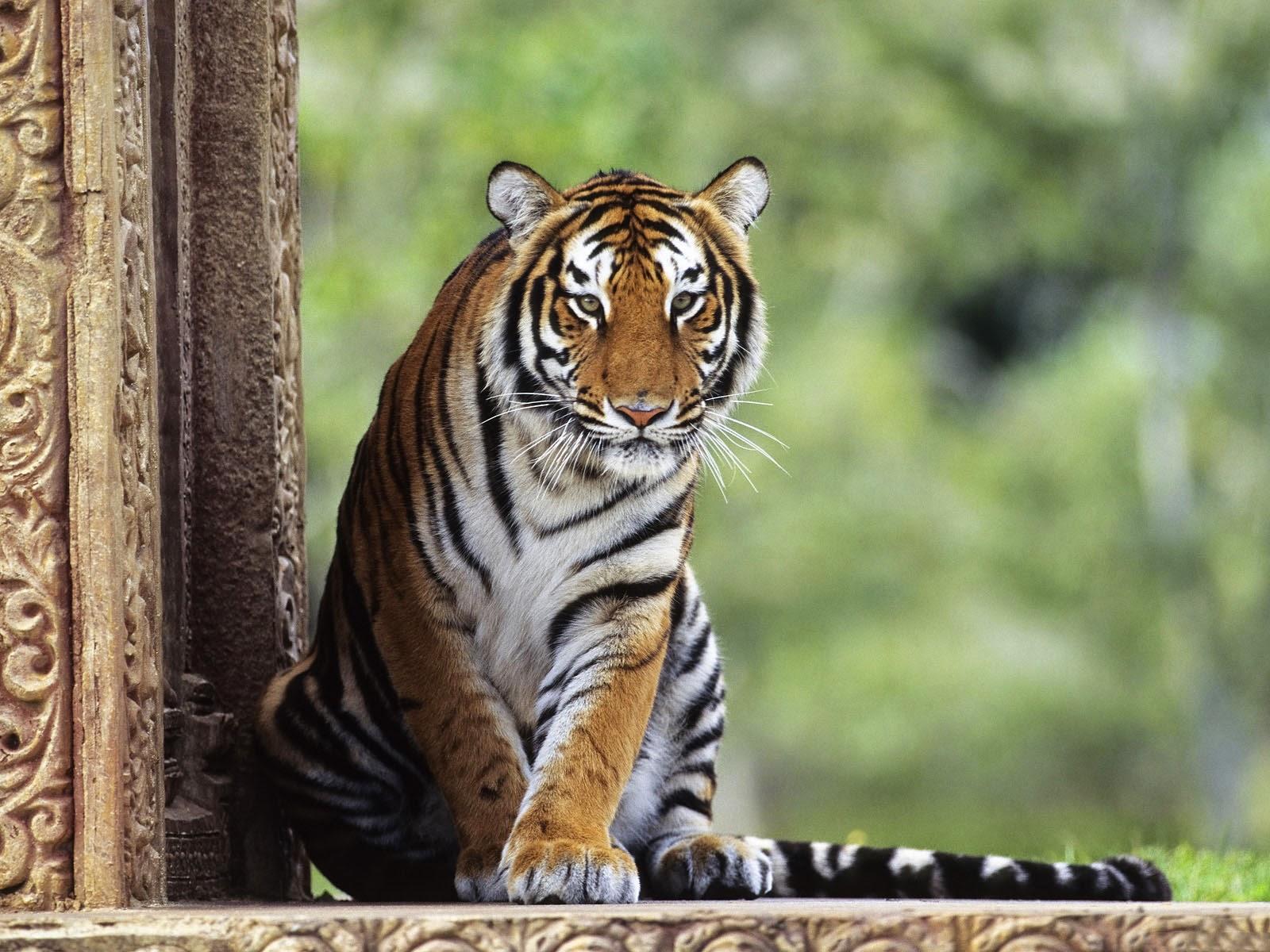 wallpapers bengal tiger wallpapers