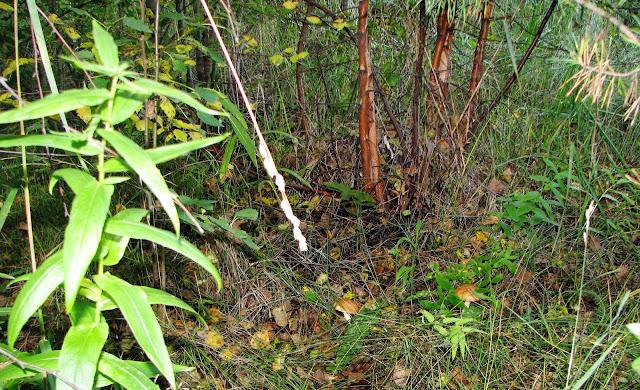 семейка грибов на полянке - маслята
