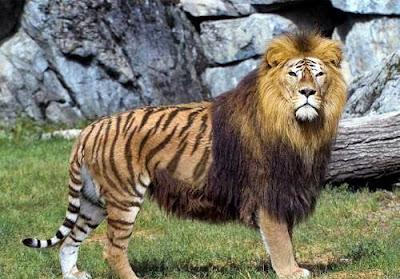 Τιγρέων