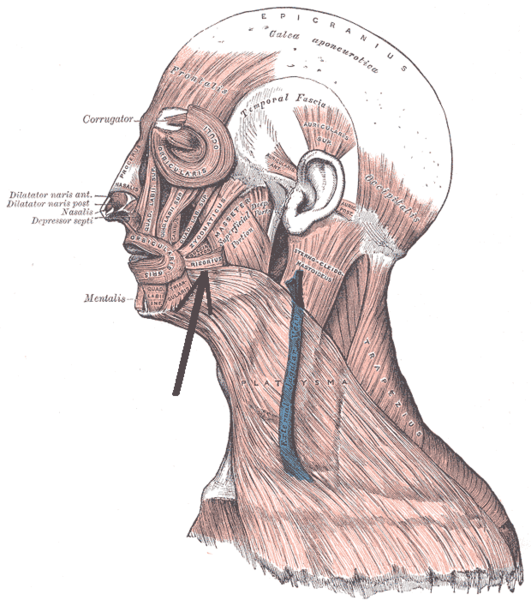 New Voice New Career Anatomy And Physiology Series Facial Musculature