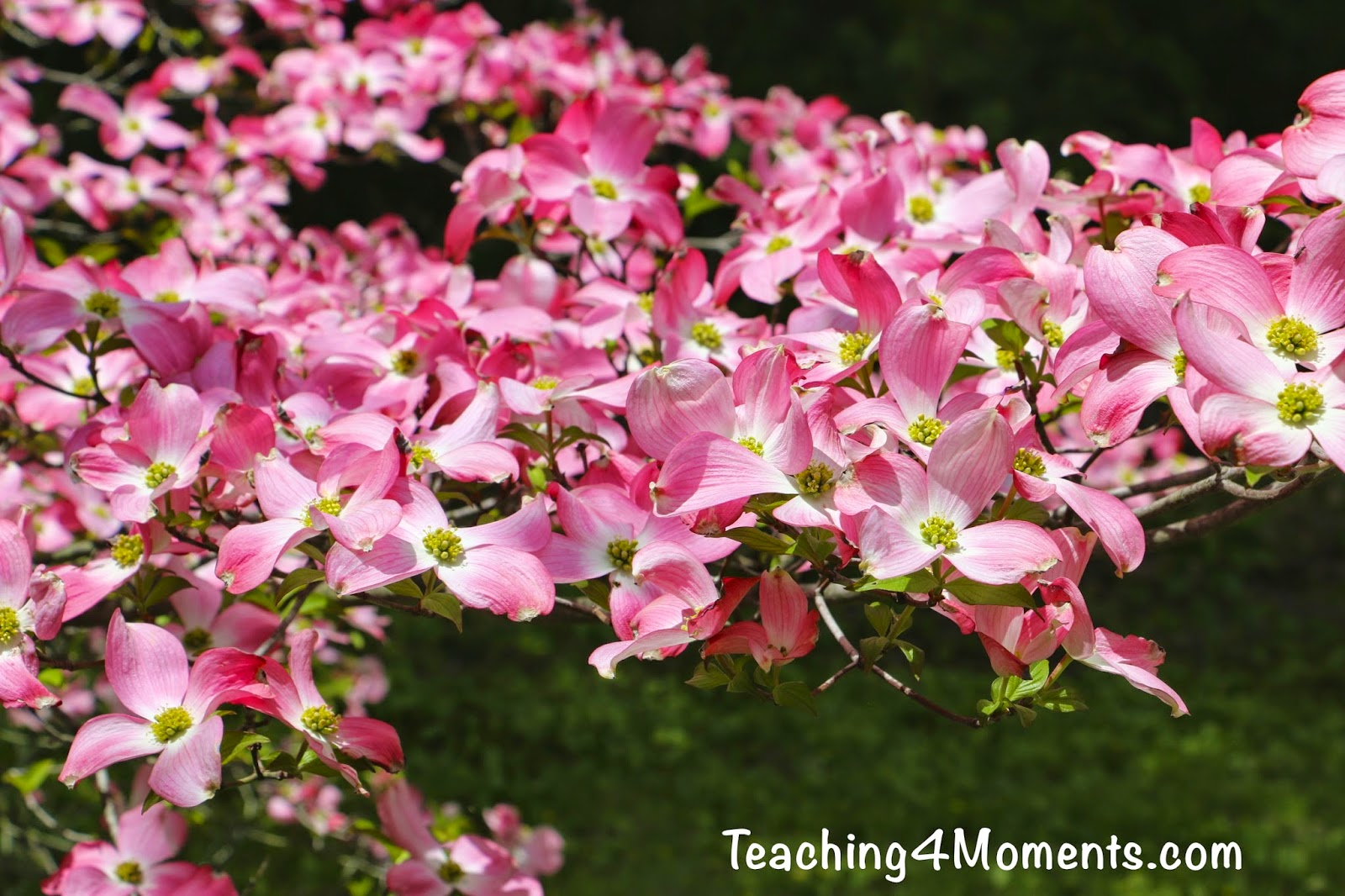 Teaching4moments Plant Of The Week 1 The Dogwood Tree