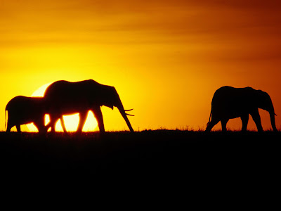 Elephant family sun set time pictures