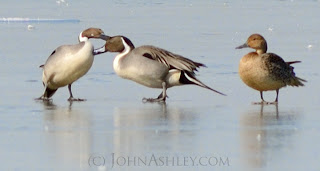 Northern Pintails (c) John Ashley
