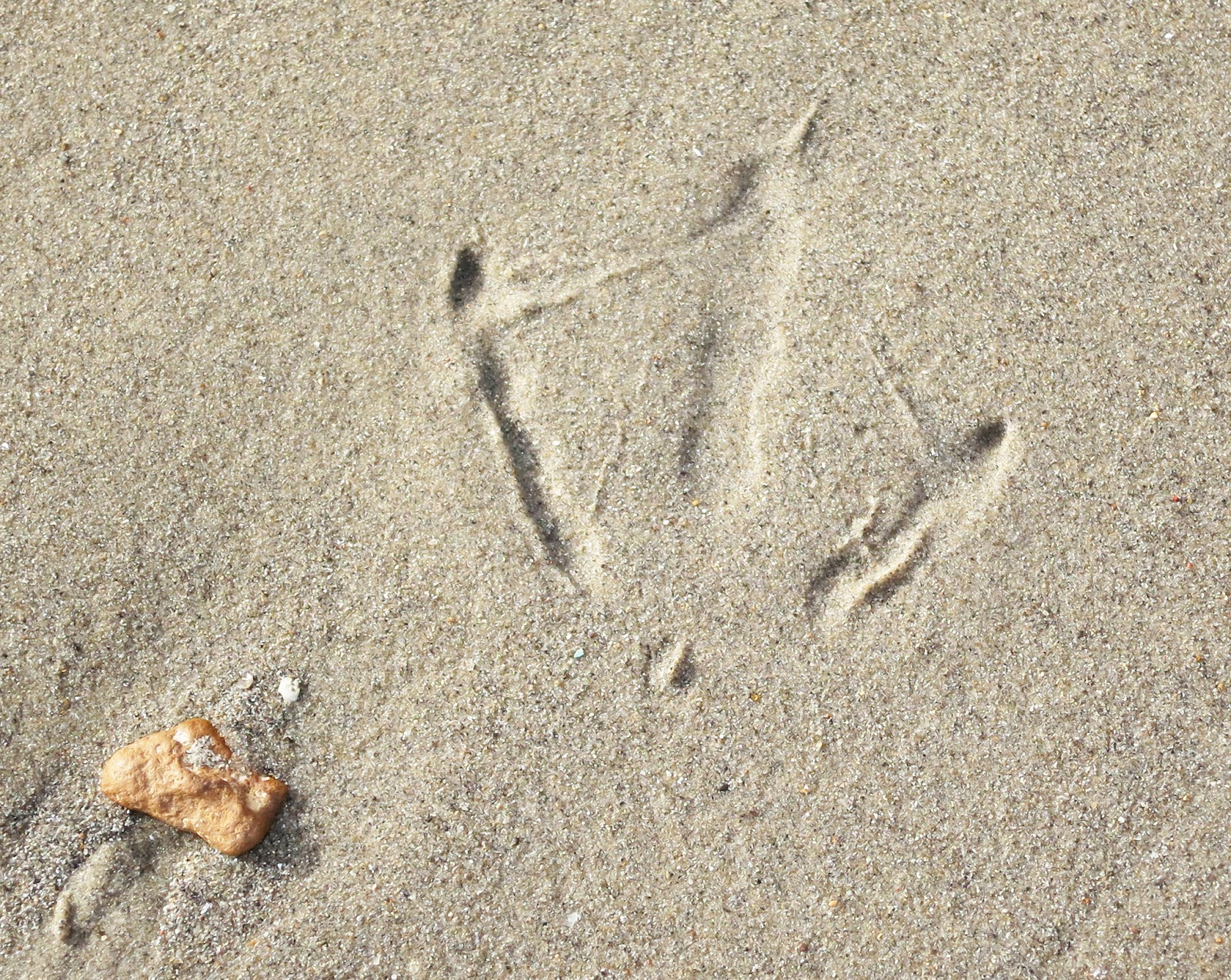 Impression of bird's foot in sand showing traces of web