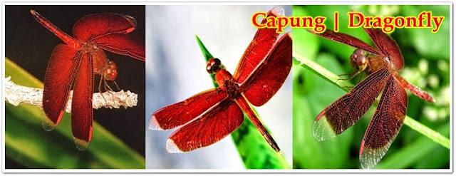 Dragonfly, Capung, Njrabang,  Neurothemis Terminata Jantan | Pacapaku