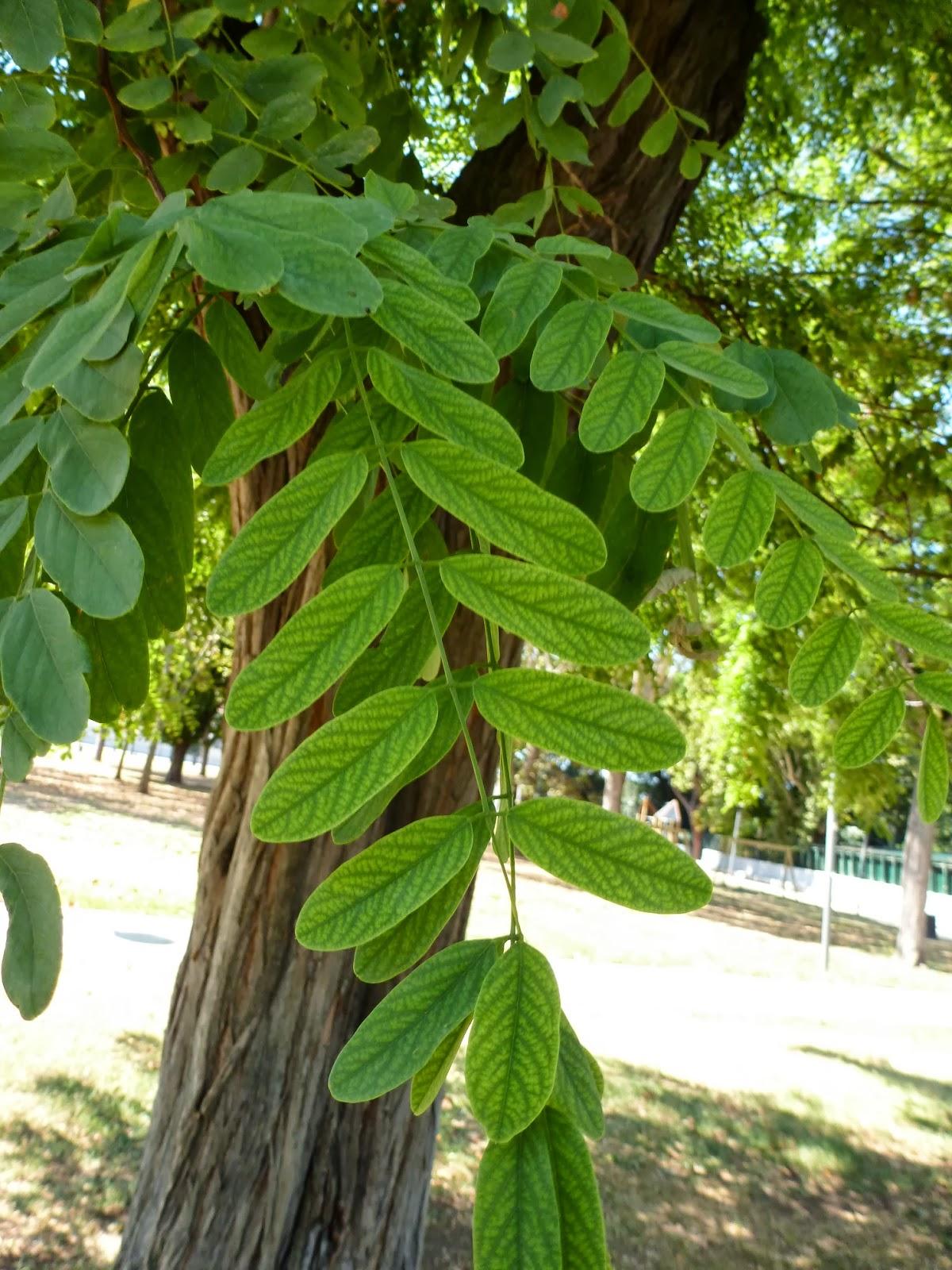 Rboles con alma robinia falsa acacia robinia for Arbol de fotos manual