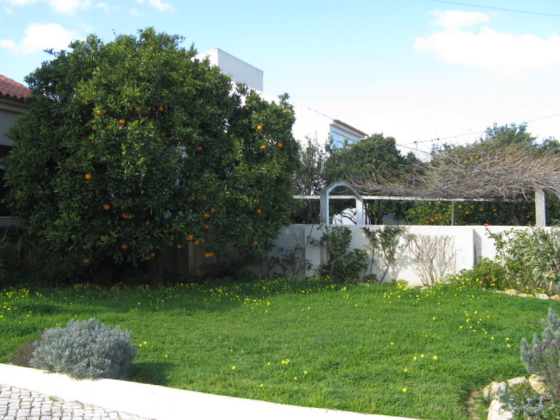 Orange tree before being pruned