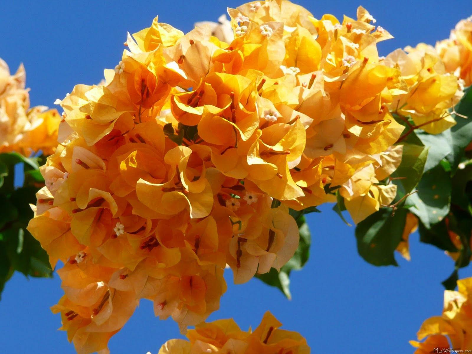 http://1.bp.blogspot.com/-okw2oNzVaLU/TfY2jAm6_WI/AAAAAAAAAC4/8EabGeAW6ug/s1600/Bougainvilleas+Flowers+Wallpaper5.jpg