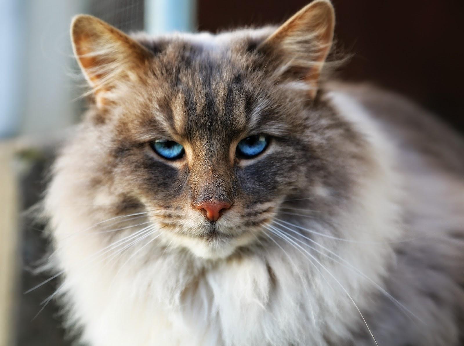 grå katt med blå ögon