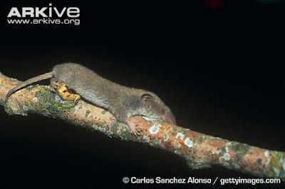 White thooted pygmy Shrew