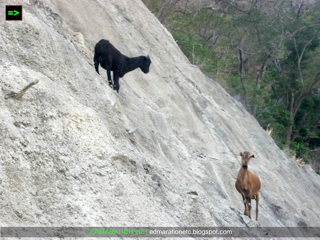 Wild Encounter | Crazy Goats Climbing a Near Vertical Mountain Slope
