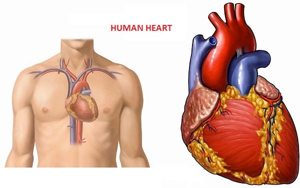 Где находится сердце у человека и как она болит