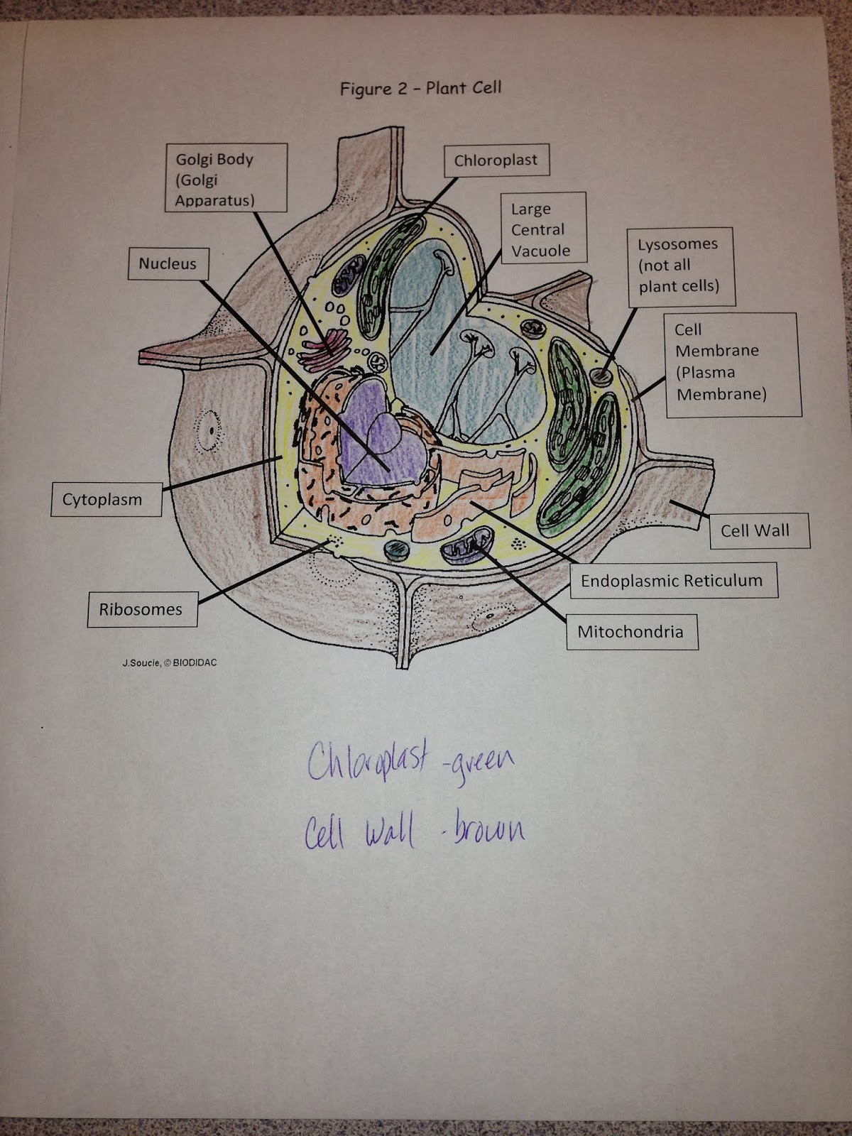 Ms. Chea's Science Class: Plant vs. Animal Cells