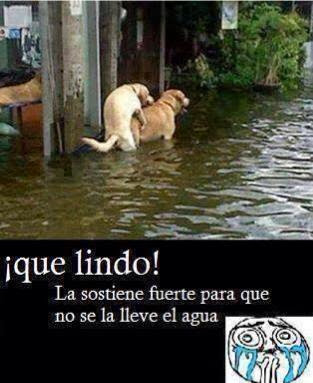 Perros teniendo relaciones en medio de la inundación