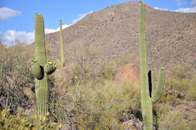 The Giant Saguaro Cacti at Dove Mountain, Arizona