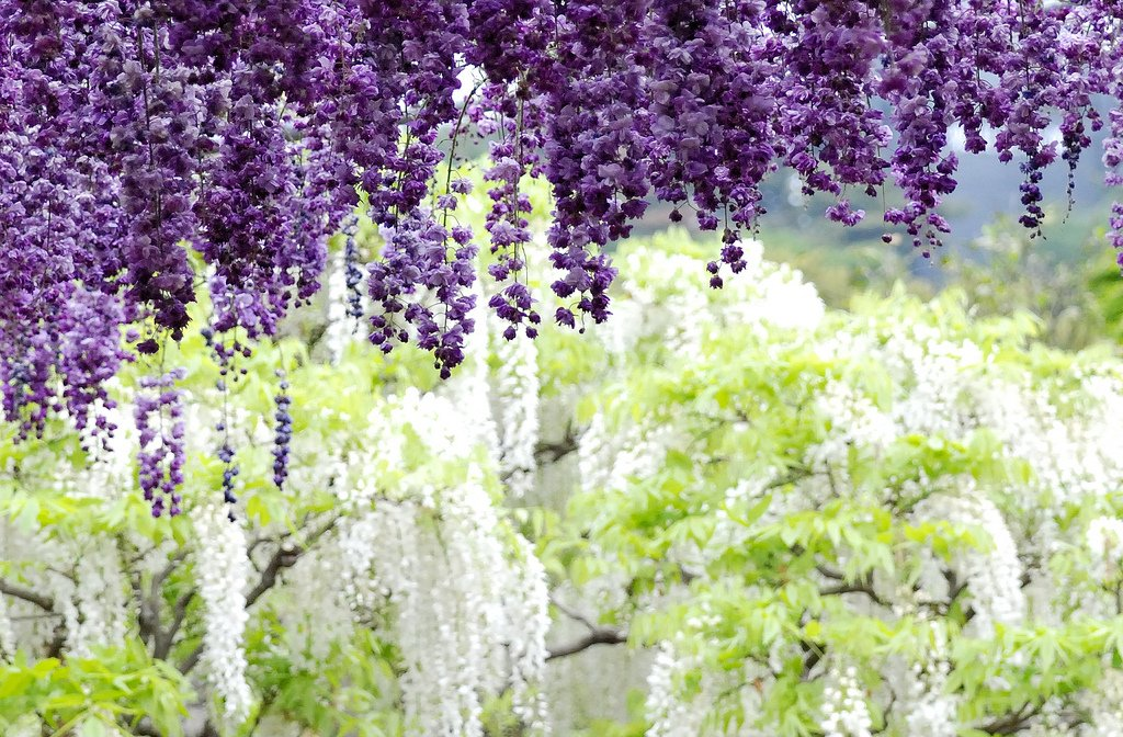 World travel places wisteria tunnel japan for The wisteria