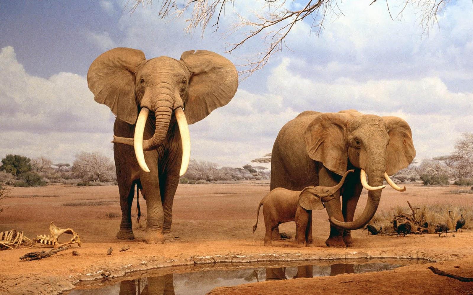 olifanten achtergronden bureaublad - photo #1