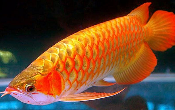 Ikan Hias Arwana