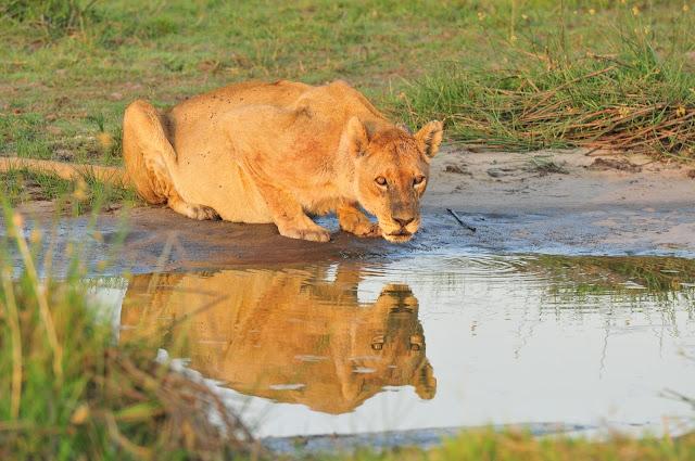Botswana-Lioness-pride-Africa