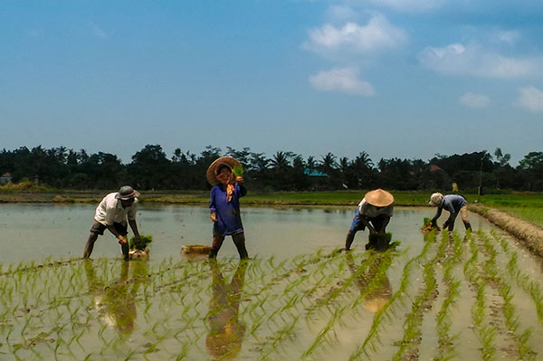 Planting rice in Jatiluwih paddy fields