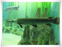 Gar Fish Animal Pictures