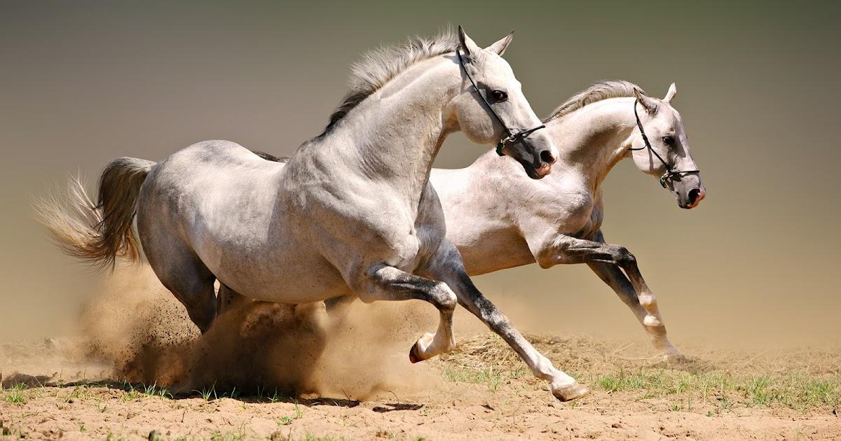 hd hintergrundbilder wei pferde araber haustiere galopp sch ne kostenlos bilder downloaden. Black Bedroom Furniture Sets. Home Design Ideas