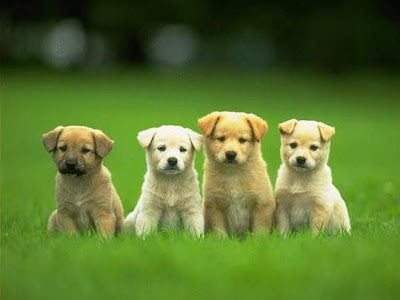 Ultimate Puppy Training, Teach Your Puppy To Sit