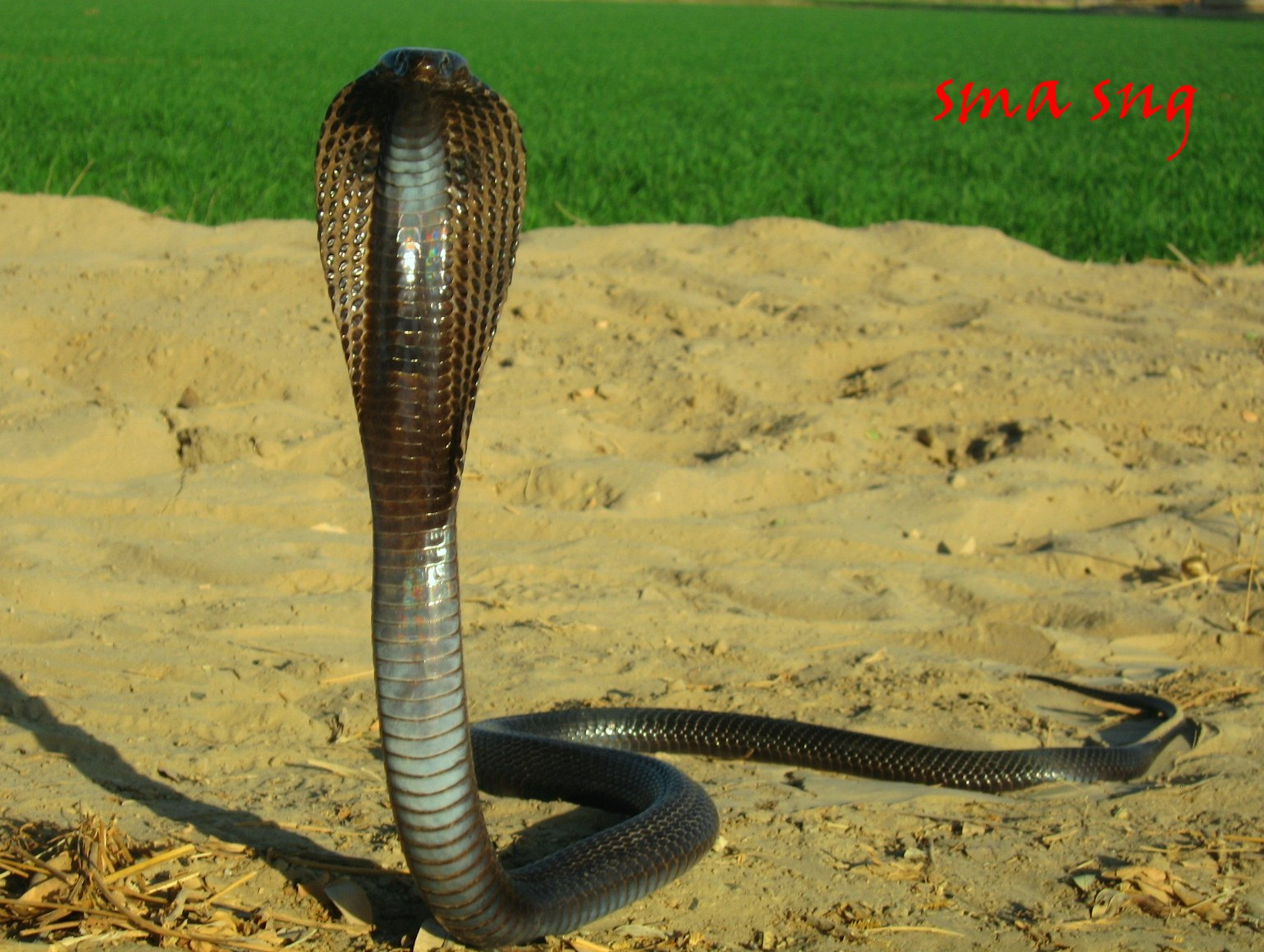 hindi snake Know about puducherry airport snake in hindi on khabarndtvcom, explore puducherry airport snake with articles, photos, video, न्यूज़, ताज़ा ख़बर in hindi.