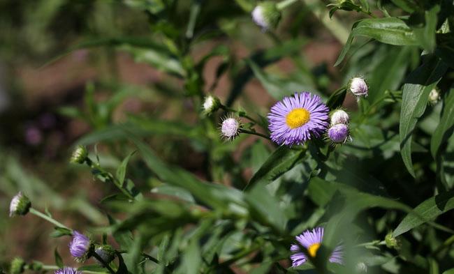 Erigeron Speciosus Flowers