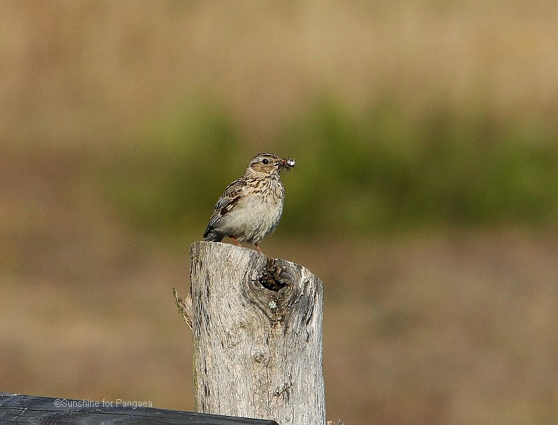 Woodlark in southern Germany