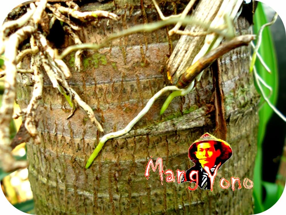 Tempel pada pohon palem - menanam / menempel  Anggrek pada pohon hidup