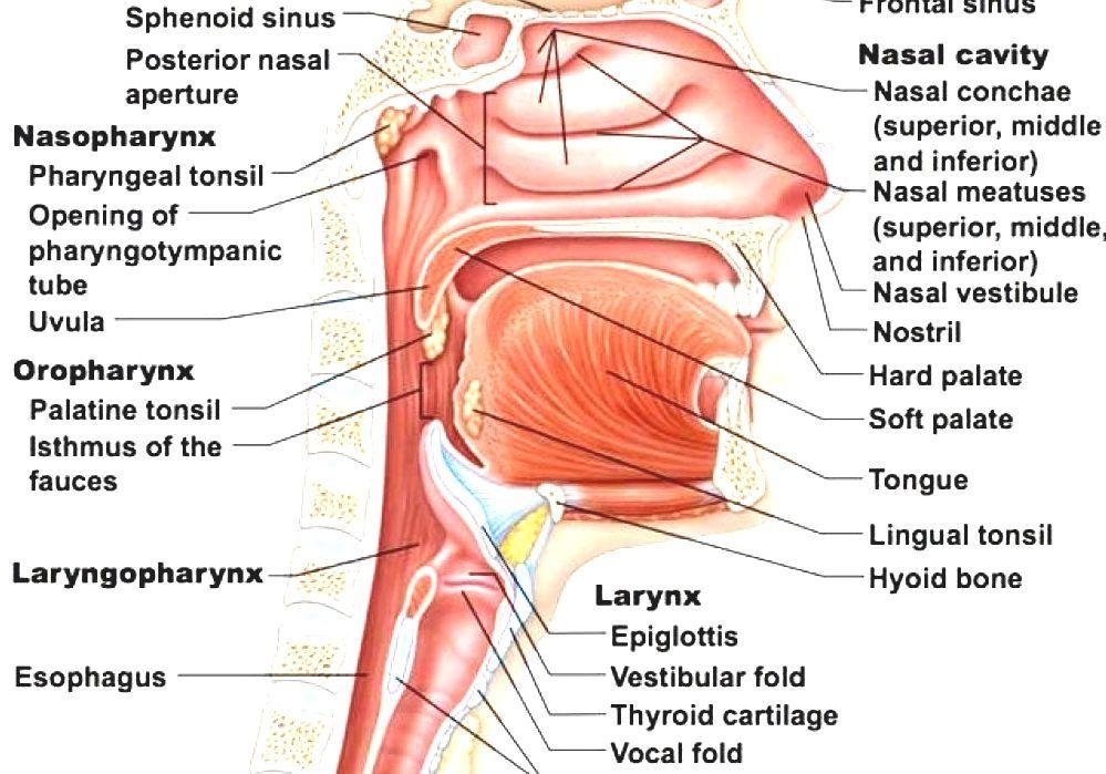 Anatomy Of The Human Nose - Human Nose