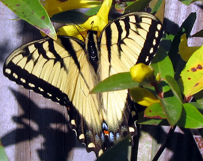 Annieinaustin swallowtail on carolina jessamine