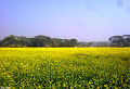 Yellow Bangladesh