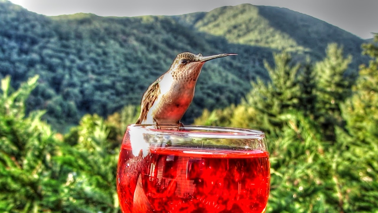 Ruby Throated Hummingbird Drinks From Wine Glass